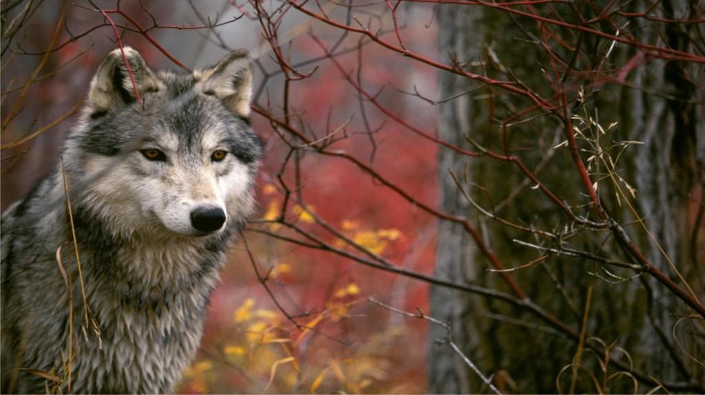 Волк - добрый зверь в вашем доме